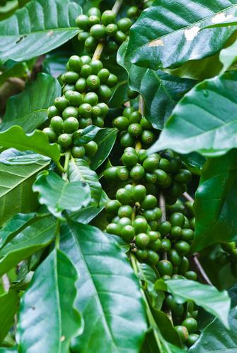 Grüner Kaffee Baum